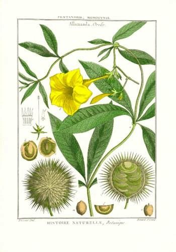 Botánica de Lamarck, láminas originales, edición de lujo